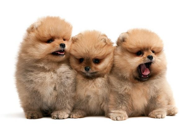 Pomeranian-puppies-sitting-on-a-white-background.jpg